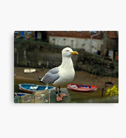 A Herring gull close up. 1980s Canvas Print
