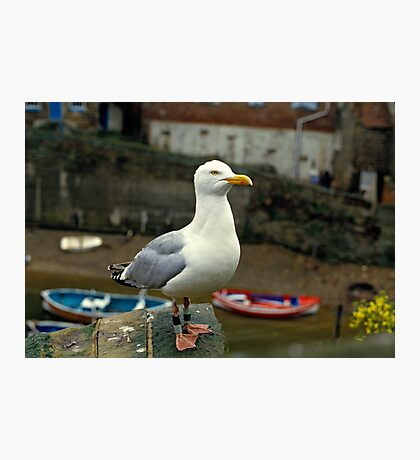 A Herring gull close up. 1980s Photographic Print
