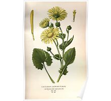 Favourite flowers of garden and greenhouse Edward Step 1896 1897 Volume 2 0232 Caucasian Leopard's Bane Poster