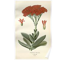 Favourite flowers of garden and greenhouse Edward Step 1896 1897 Volume 2 0058 Crassula Falcata Poster