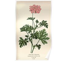 Favourite flowers of garden and greenhouse Edward Step 1896 1897 Volume 1 0177 Oak Leaf Geranium Poster