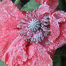 Frozen Poppy by Tracy Wazny