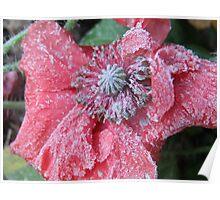 Frozen Poppy Poster