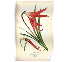 Favourite flowers of garden and greenhouse Edward Step 1896 1897 Volume 4 0123 Jacobean Lily Poster
