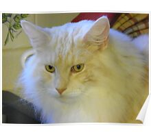 Maine Coon cat Bentley watching intently Poster