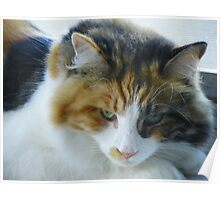 Maine Coon cat Lexus keeping a watchful eye Poster
