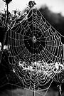 Jewelled spider's web by David Isaacson
