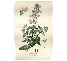 Favourite flowers of garden and greenhouse Edward Step 1896 1897 Volume 3 0173 Collinsia Bicolor Poster