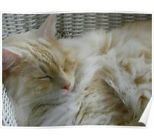 Maine Coon cat Bentley snoozing in chair Poster