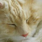 Maine Coon cat Bentley snoozing close up by MeMeBev