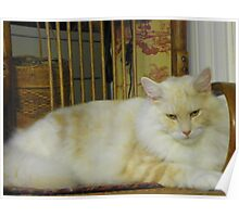 Maine Coon cat Bentley resting in chair watching Poster