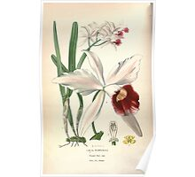 Favourite flowers of garden and greenhouse Edward Step 1896 1897 Volume 4 0004 Laelia Purpurata Poster