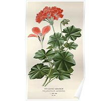 Favourite flowers of garden and greenhouse Edward Step 1896 1897 Volume 1 0174 Ivy Leaved Geranium Poster