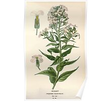 Favourite flowers of garden and greenhouse Edward Step 1896 1897 Volume 1 0093 Rocket Poster