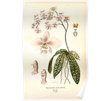Favourite flowers of garden and greenhouse Edward Step 1896 1897 Volume 4 0047 Phalaenopsis Schilleriana Poster