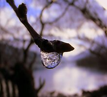 Dew Drop by TonyW