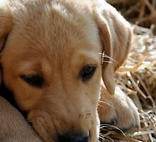 Puppy in Straw by Wildernesschic