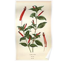 Favourite flowers of garden and greenhouse Edward Step 1896 1897 Volume 2 0082 Cyphea Ignea Poster