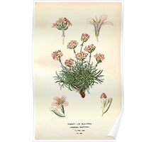 Favourite flowers of garden and greenhouse Edward Step 1896 1897 Volume 3 0050 Thrift or Sea Pink Poster