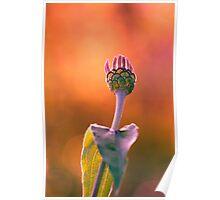 Pink bud enjoying the sunset Poster