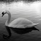 Swan by Ant101