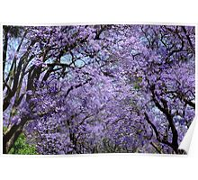 Jacaranda canopy. Johannesburg, South Africa. Poster