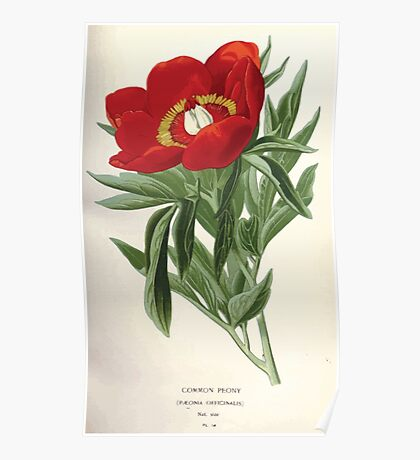 Favourite flowers of garden and greenhouse Edward Step 1896 1897 Volume 1 0052 Common Peony Poster