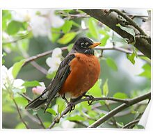 Beauty of a Male Robin Poster