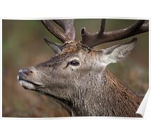 Red Deer Stag walking by... Poster