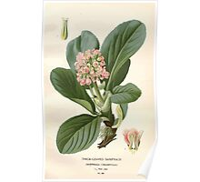 Favourite flowers of garden and greenhouse Edward Step 1896 1897 Volume 2 0043 Thick Leaved Saxifrage Poster