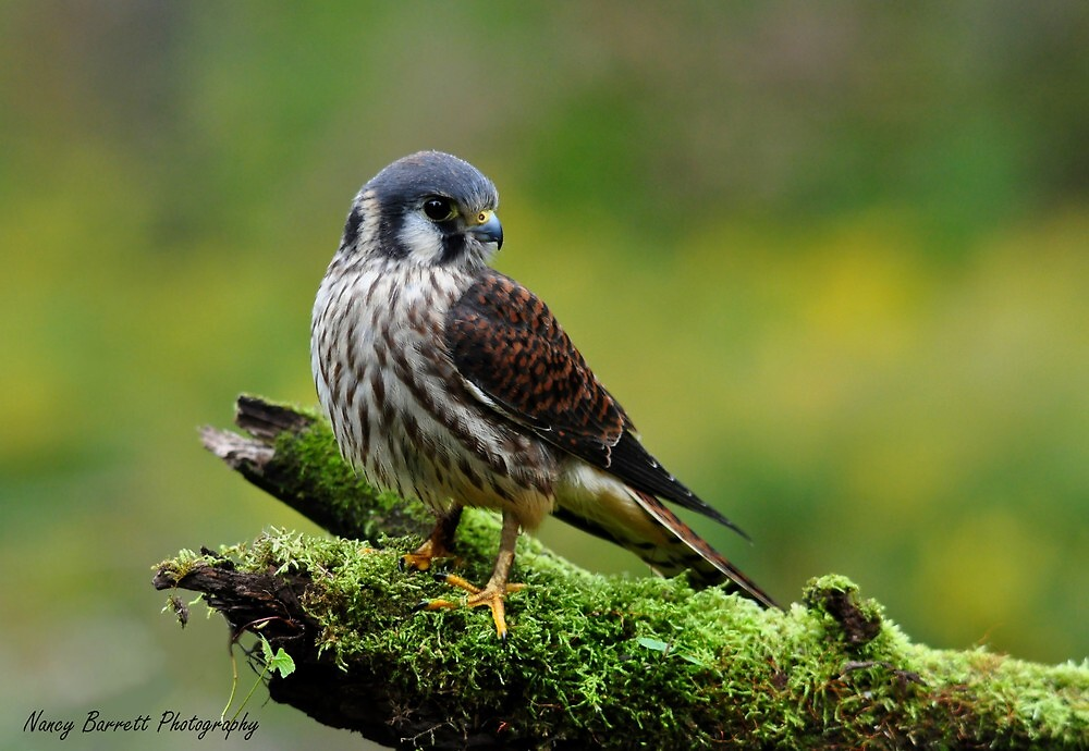 American Kestrel by Nancy Barrett