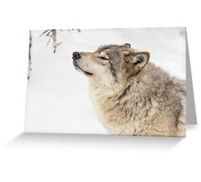 Timber wolf in winter Greeting Card