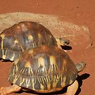 Tortotise by 2 by Bluebelly