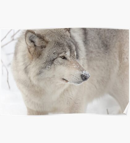 Timber wolf in winter Poster