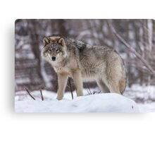 Timber wolf in winter Metal Print