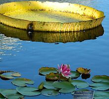 Lily Pond by ctheworld