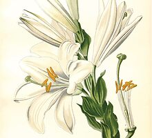 Favourite flowers of garden and greenhouse Edward Step 1896 1897 Volume 4 0199 White or Saint Joseph's Lily by wetdryvac
