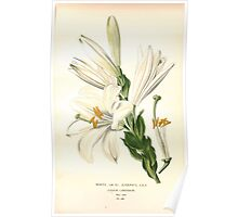 Favourite flowers of garden and greenhouse Edward Step 1896 1897 Volume 4 0199 White or Saint Joseph's Lily Poster