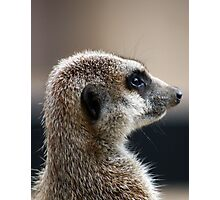 Meerkat portrait Photographic Print
