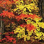 Red and Yellow Leaves of Fall by CarolM