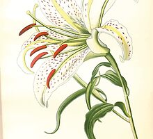 Favourite flowers of garden and greenhouse Edward Step 1896 1897 Volume 4 019 Gold Rayed Lily of Japan1 by wetdryvac