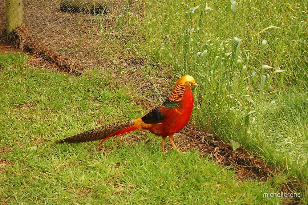 Golden Pheasant by michellerena