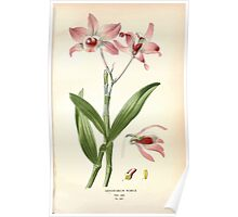Favourite flowers of garden and greenhouse Edward Step 1896 1897 Volume 4 0023 Dendrobium Nobile Poster