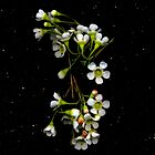 Chamelaucium uncinatum (Geraldton Wax). Flower scan. by Kirsten Spry