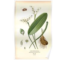 Favourite flowers of garden and greenhouse Edward Step 1896 1897 Volume 4 0263 Cape Pond Weed Poster