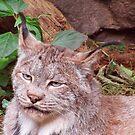 Lynx by shutterbug2010