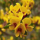 Australian Wildflowers by Emma Sterling