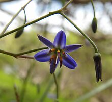 Dianella revoluta, Blue Flax Lily by Emma Sterling