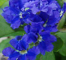 Lechenaultia biloba, Blue Lechenaultia by Emma Sterling