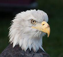 American Eagle by Jarede Schmetterer